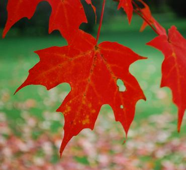 red maple leaf photo by Sarah Laurence