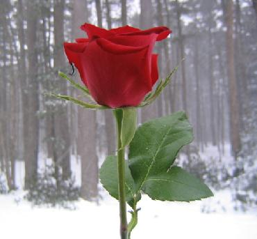 valentine rose and a snowy wood photo by sarah laurence