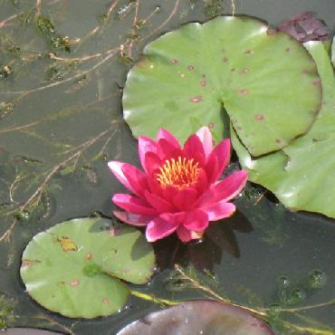 water lilly in Oxford Botanic Garden photo by sarah laurence