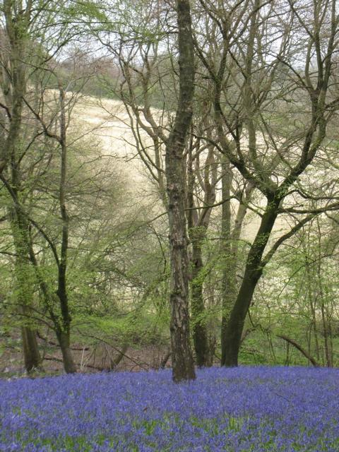 bluebell woods england photo by sarah laurence