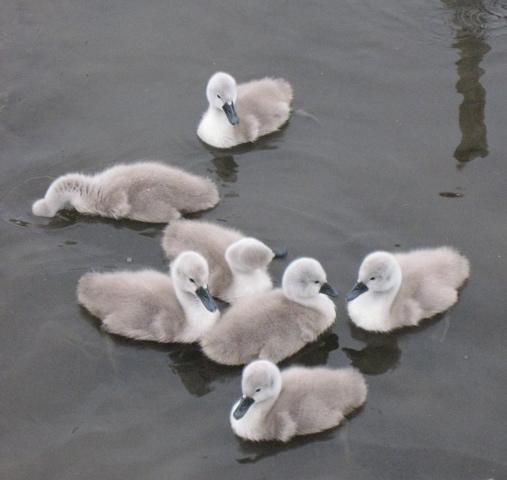 young cygnets in England photo by Sarah Laurence