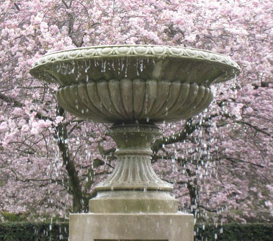 cherry blossoms and fountain in regents park england photo by sarah laurence