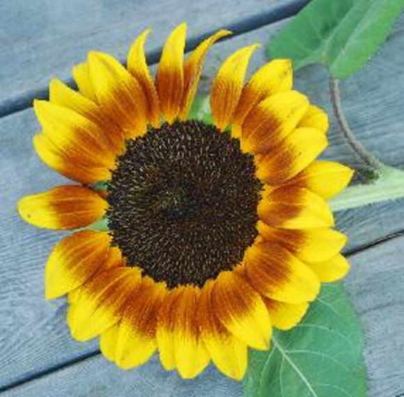 sunflower photo by Sarah Laurence